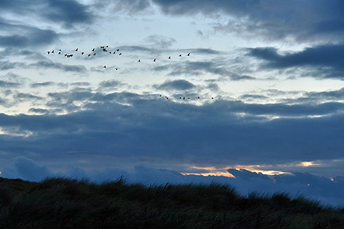 Picture of a flock of Geese flying above dunes in the evening light