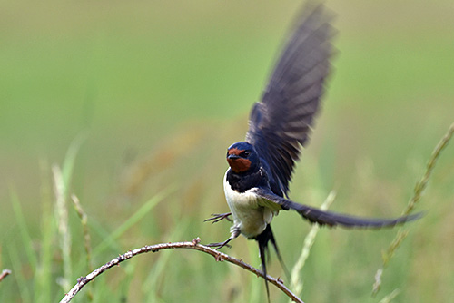 Picture of a Swallow flying off