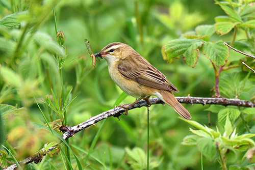 Picture of a Sedge Warbler with an insect in its beak